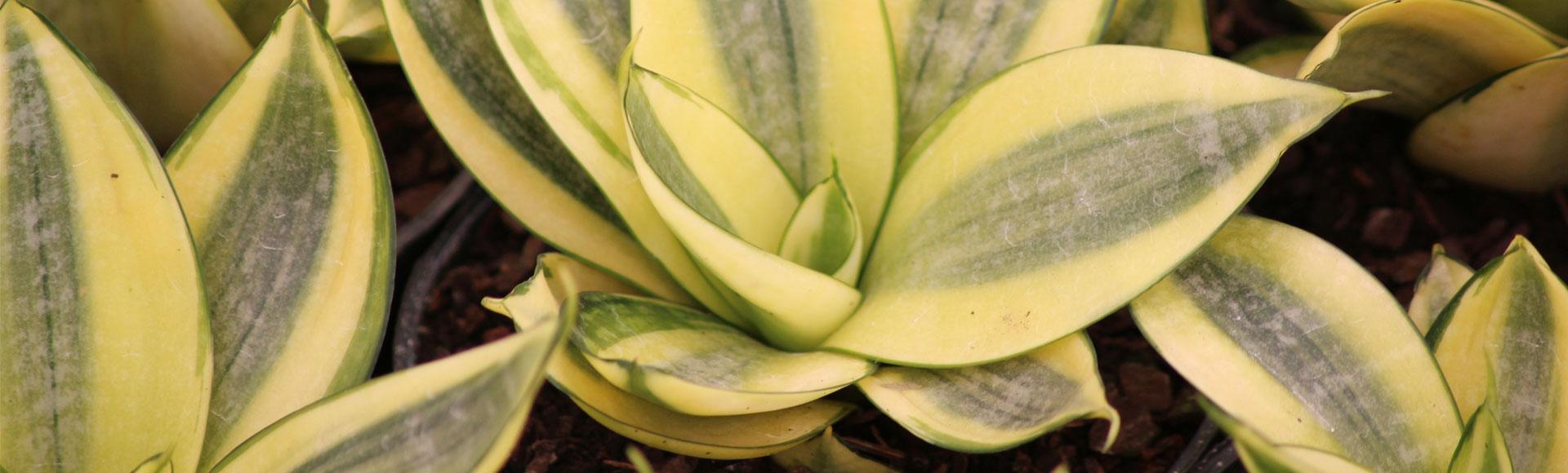 Dr cactus flores e plantas ornamentais cactos plantas for Cactus de exterior