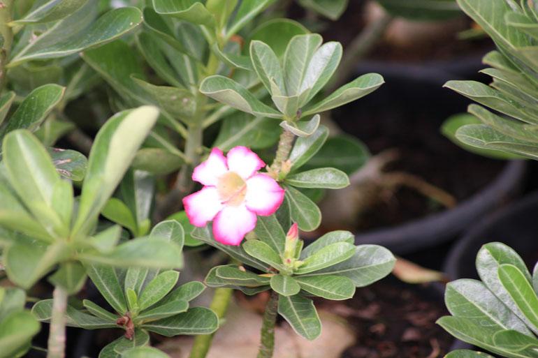 Ex ticas dr cactus flores e plantas ornamentais cactos for Plantas de interior exoticas